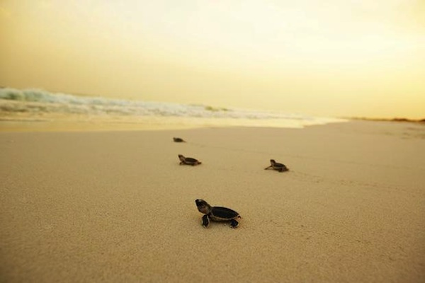 Saadiyat-Hawksbill-Turtles-In-Sprint-to-the-Shore